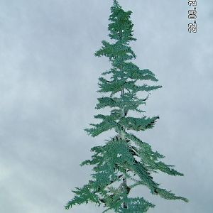 cheap fir tree scale O